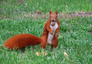 Squirrel repellent