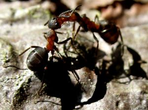 killing carpenter ants